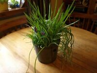 Grape hyacinths 50p a pot
