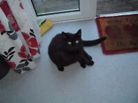 MALE CAT ABOUT 1 - 2 YEARS OLD ( BLACK ) FREE TO A GOOD HOME.