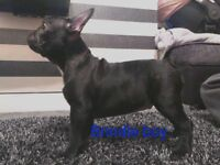 French bulldog pups ready now **price reduced ***