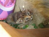 1 tortiseshell female kitten left