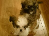 Gorgeous Shih Tzu Puppies ready to go this FRIDAY