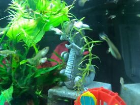 Female guppies - FREE to good home