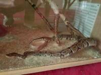 Fully Grown Female Ball Python
