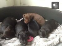Patterdale pups for sale