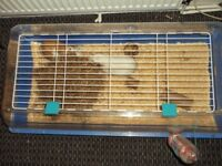 PAIR MALE GUINEA PIGS AND CAGE 13MTHS OLD