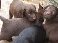 Sprocker Puppies. 3 Dogs left, 1 black and 2 chocolate