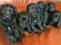 Golden Retriever X Irish Water Spaniel Puppies