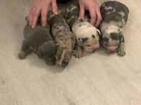 Merle English bulldogs