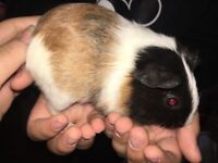 3 Sow Baby Guinea Pigs