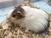 Pair of handsome bay Guinea Pigs