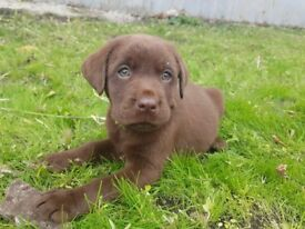 Litter of chocolate labradors available