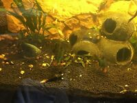 Fresh water tropical fish