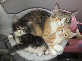 8 weeks old playful, FLUFFY SIBERIAN/RUSSIAN BLUE SHORTHAIR CROSS KITTENS litter trained kittens,