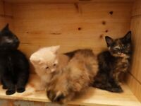 Only 4 beautiful kittens 3 girls 1 boy left please read description