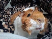 Male guinea pig 8 months old
