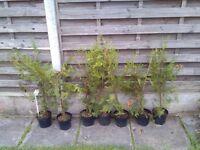 Lelandi trees