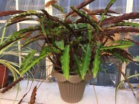 Big Calathea Rufibarba plant.