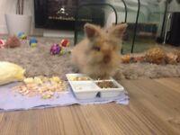 Dwarf rabbit male for sale