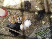 Pekin frizzle chicks hatched 15th June beautiful and healthy