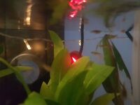 Endler guppy fry for sale