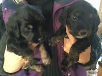 Cocker/Poodle-Yorkie Puppies