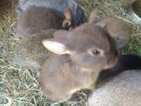 *3 girls left*- Baby rabbits, Netherland dwarf x mini lop.