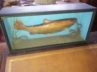 TAXIDERMY BROWN SEA TROUT Mounted in Glass Front Case