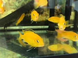 24 Yellow & Orange Malawi Cichlids - prices for quick sale
