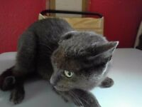 GREY FEMALE CAT FOR SALE CALLED BLOSSOM