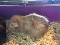 2 adult Guinea pigs for sale