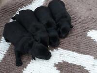 Border Lakeland Terriers