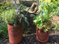 Earthenware rustic pots planted with herbs