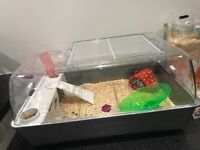 Dwarf Syrian hamster with cage and accessories