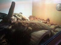 Bearded dragon and vivarium set up