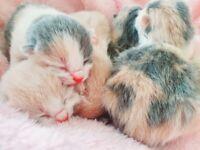 Beautiful british short-hair cross kittens