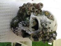 2 skulls for fishtank. £15