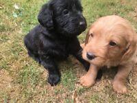 Miniature Labradoodle Puppies.