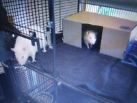 Super cute Albino rats to rehome
