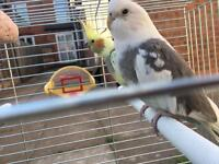 Selling these beautiful cockatiels with cage