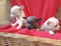Stunning Chihuahuas puppies for sale