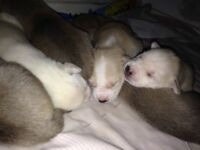Husky cross xl bully pups