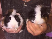 Boys guinea pigs (Brothers)