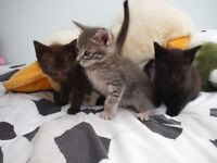 Siamese X Kittens Blue Eyed Brown & Silver - 3 Only