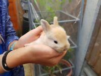 Baby Netherland Dwarf Bunnies (litter of 7)