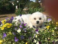 Beautiful Bichon x Chichuchua puppies ready to go