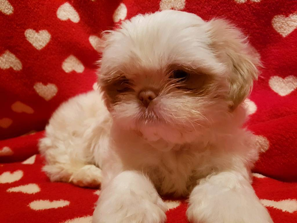 Imperial Shih Tzu In Newquay Cornwall Gumtree