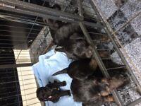 Stunning jackapoo puppys