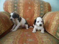 jack russell cross puppies, microchipped,