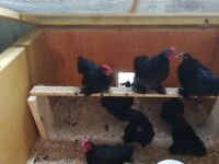 8 week old pekin rooster chicks
