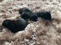 Three-quarter pug puppies
